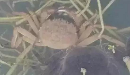 河蟹缺氧上草